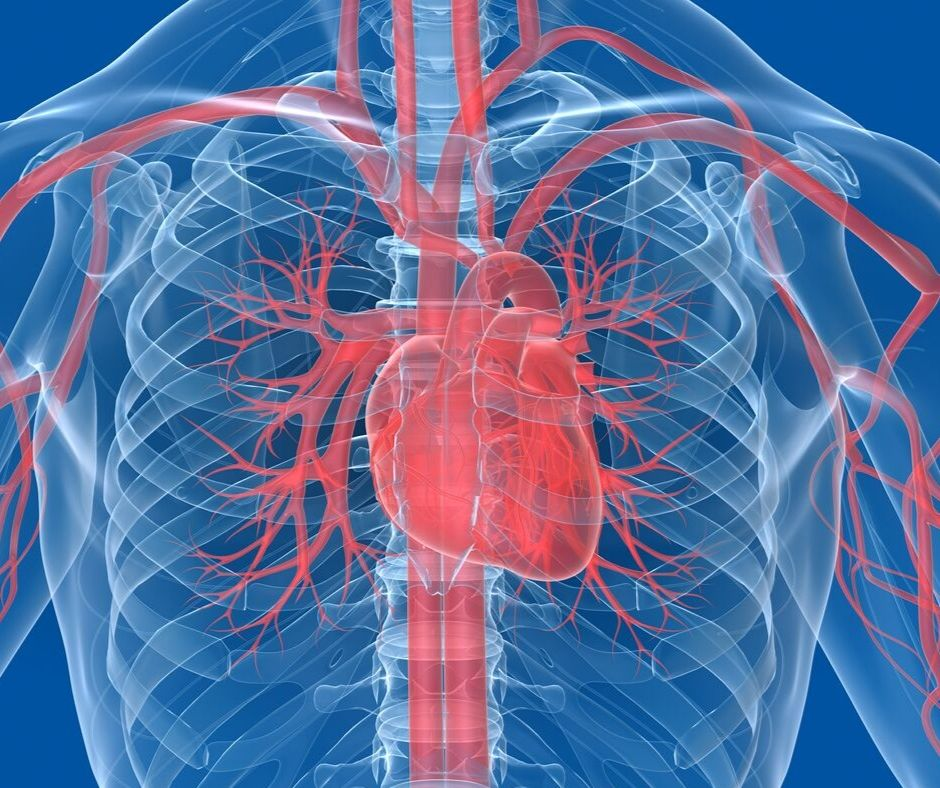 Graphic of the cardiovascular system focusing on the heart